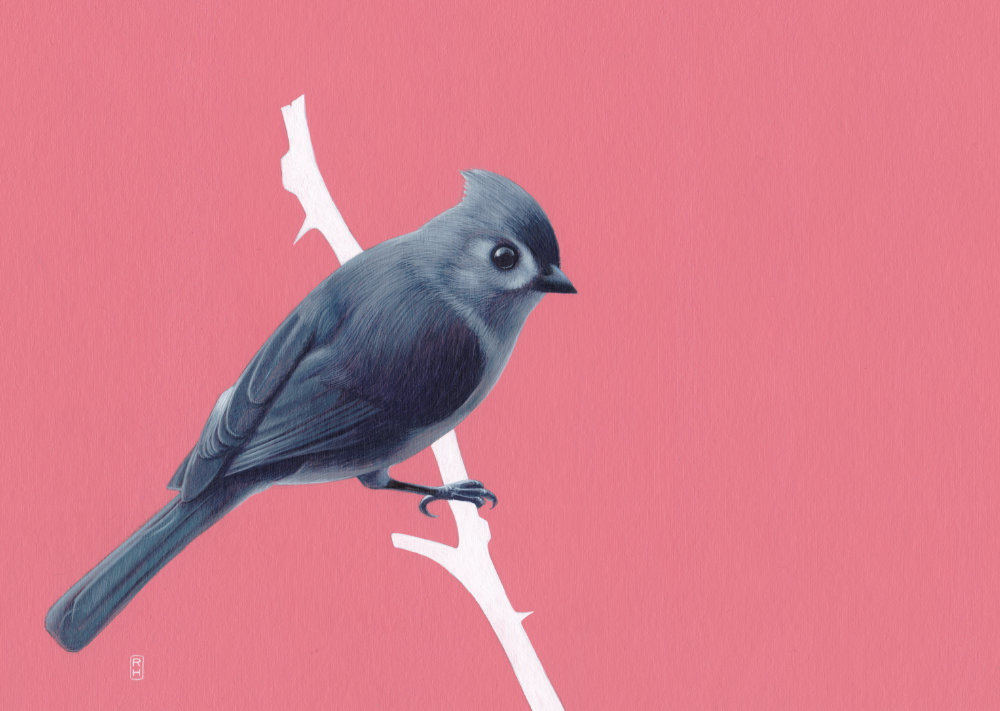 Tufted titmouse on pink
