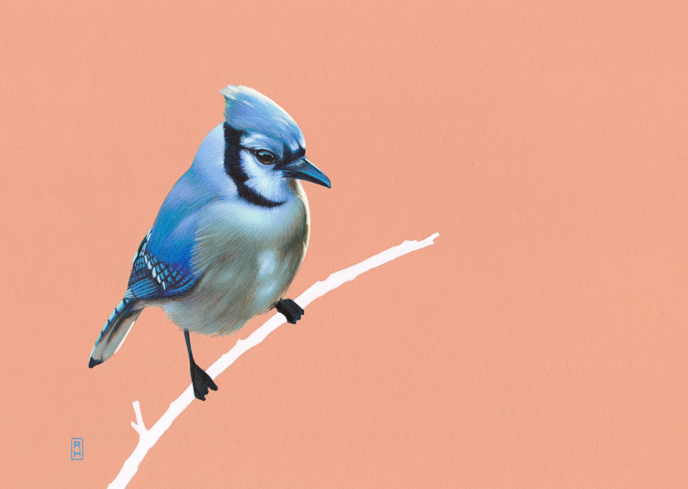 Bluejay-on-pink
